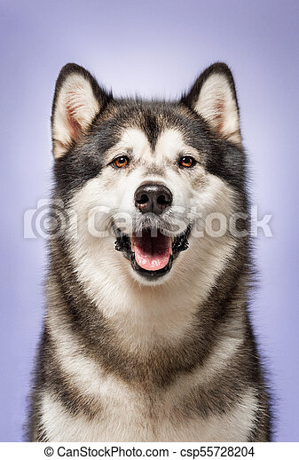 Alaskan Malamute, 2 years old, sitting in front of lilac background - csp55728204
