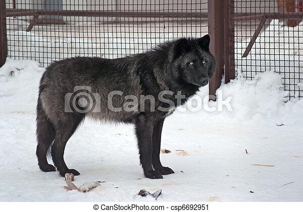 Alaskan wolf - csp6692951