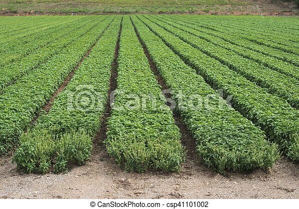 Campo plantado con albahaca - csp41101002