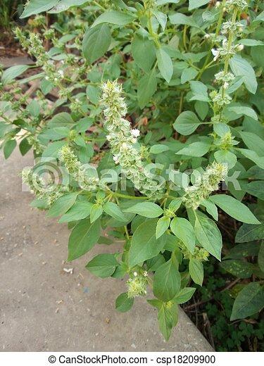 Dulce albahaca - csp18209900