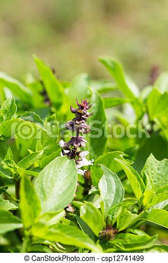 Flor de albahaca dulce - csp12741499