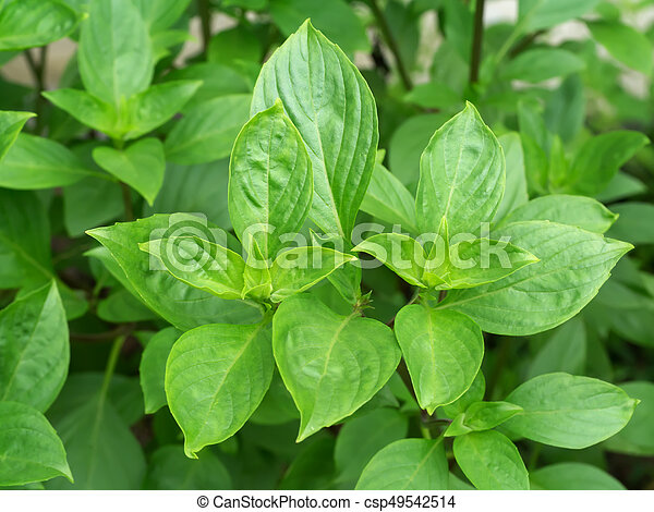 Hoja verde de albahaca dulce - csp49542514