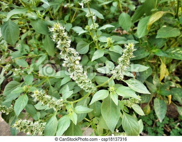 Dulce albahaca - csp18137316