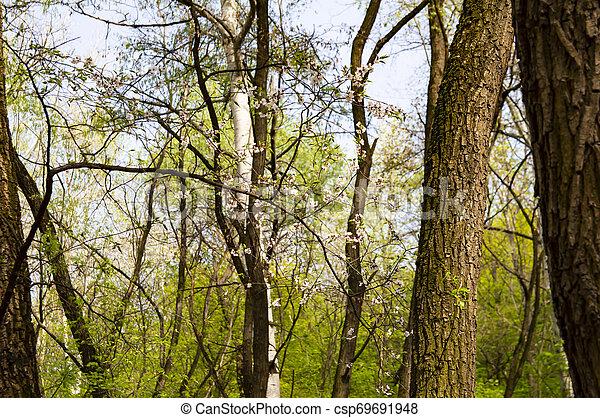 Flores de albaricoque en el bosque - csp69691948