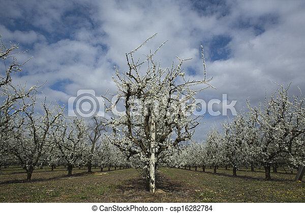 albaricoque, líneas, árboles - csp16282784