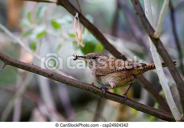 House wren (Troglodytes aedon) - csp24924342