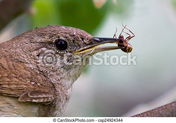 House wren (Troglodytes aedon) - csp24924344