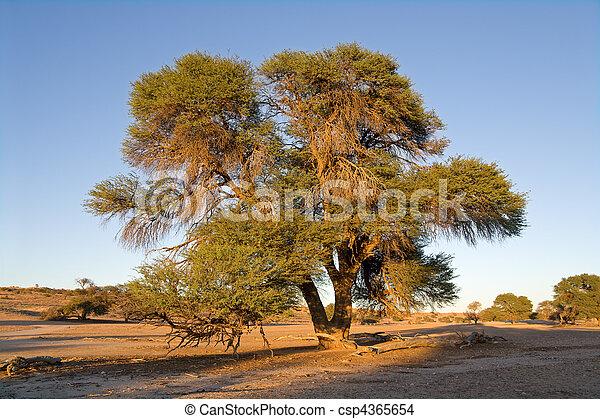 Albero acacia africano albero camelthorn kalahari for Acacia albero