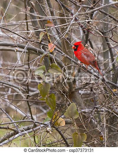 albero inverno, perched, cardinale, sterile, maschio - csp37373131