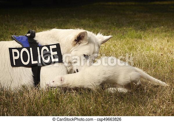 Albino ferret and swiss shepherd - csp49663826
