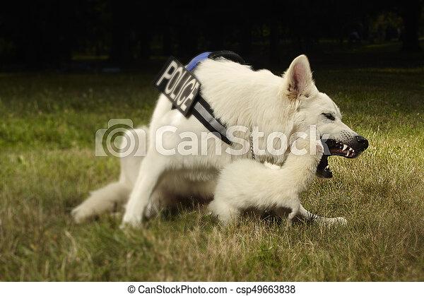 Albino ferret and swiss shepherd - csp49663838