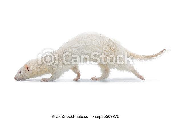 Albino Ferret - csp35509278
