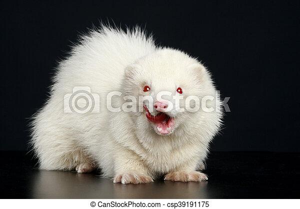 Albino ferret - csp39191175