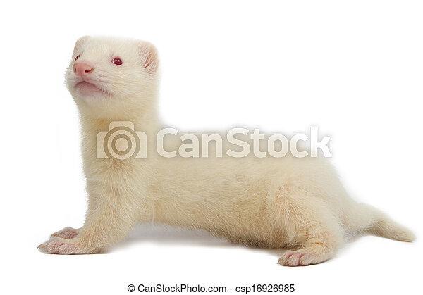 Albino ferret - csp16926985