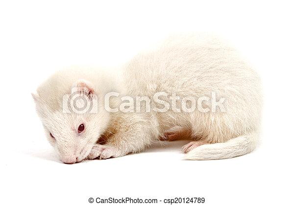 Albino ferret - csp20124789
