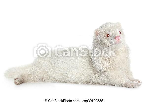 Albino ferret - csp39190885