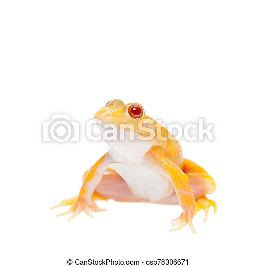 Albino Pool Frog on white, Pelophylax lessonae - csp78306671
