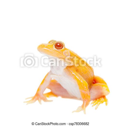 Albino Pool Frog on white, Pelophylax lessonae - csp78306682