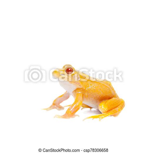Albino Pool Frog on white, Pelophylax lessonae - csp78306658