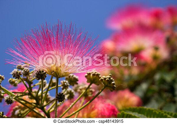 Albizia julibrissin beautiful pink flowers tropical mediterranean albizia julibrissin stock photo mightylinksfo