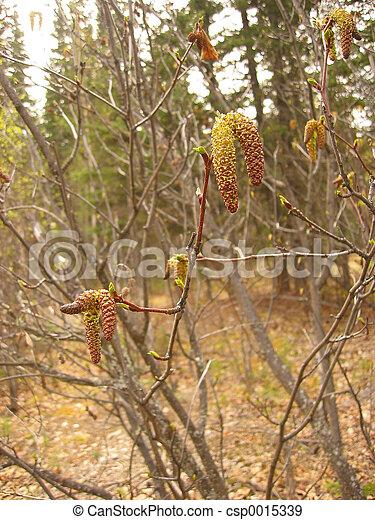 Alder in the spring - csp0015339