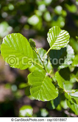 Alder leaf - csp10018907
