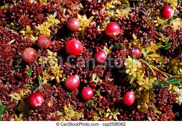 Un primer plano de arándanos alemanes creciendo en musgo - csp2598362