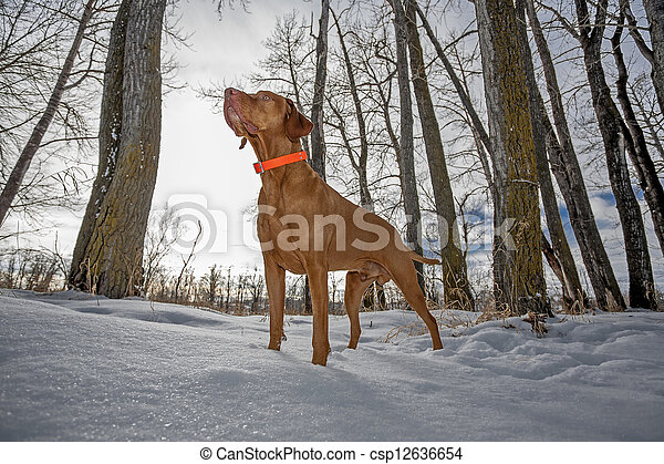 alert hunting dog in the winter forest - csp12636654