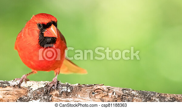 Alert Northern Cardinal Perched in a Tree - csp81188363