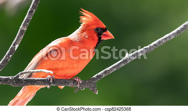 Alert Northern Cardinal Perched in a Tree - csp82425368
