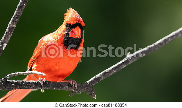 Alert Northern Cardinal Perched in a Tree - csp81188354
