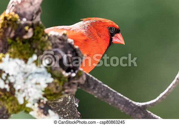 Alert Northern Cardinal Perched in a Tree - csp80863245