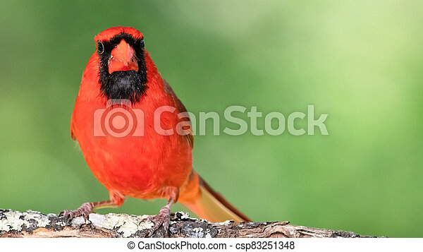 Alert Northern Cardinal Perched in a Tree - csp83251348