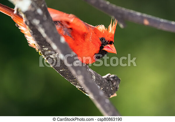 Alert Northern Cardinal Perched in a Tree - csp80863190