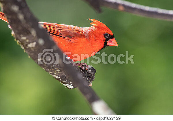 Alert Northern Cardinal Perched in a Tree - csp81627139