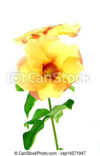 Allamanda or golden trumpet , beautiful yellow flower isolated on white background - csp14571947