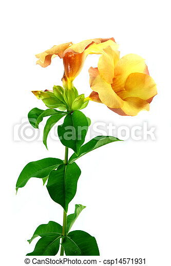 Allamanda or golden trumpet , beautiful yellow flower isolated on white background - csp14571931
