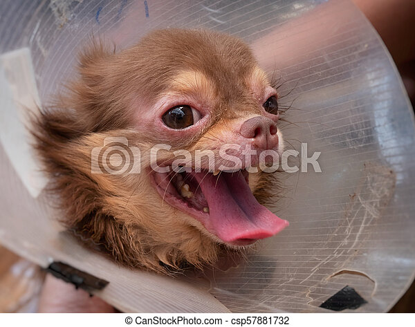 Allergi Skinn Chihuahua Hund Demodicosis
