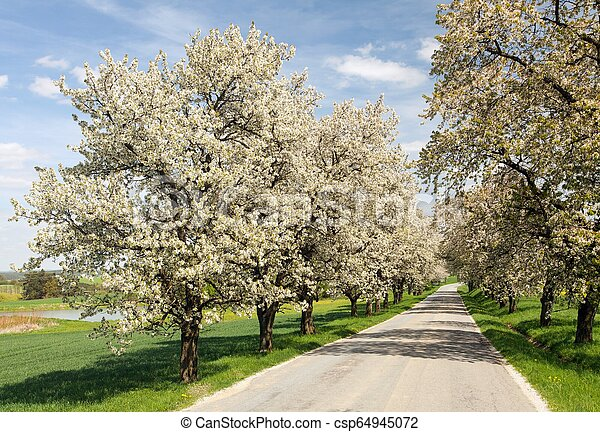 Alley Of Cherry Trees White Flowering Beautiful View