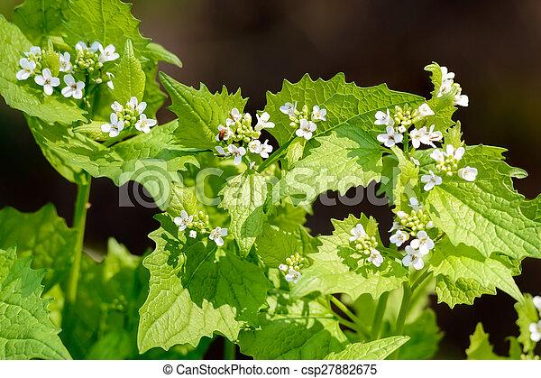 Alliaria petiolata - csp27882675