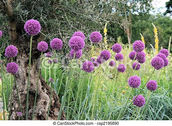 Allium 2 - csp2195890