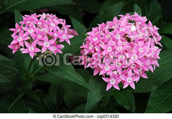 Allium flowers allium unifolium flowers known as flowering onions allium flowers csp0314320 mightylinksfo