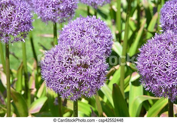 Allium Garden With Flowers In Bloom   Csp42552448