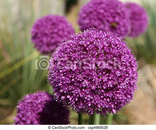 Allium Gladiator - csp4969028