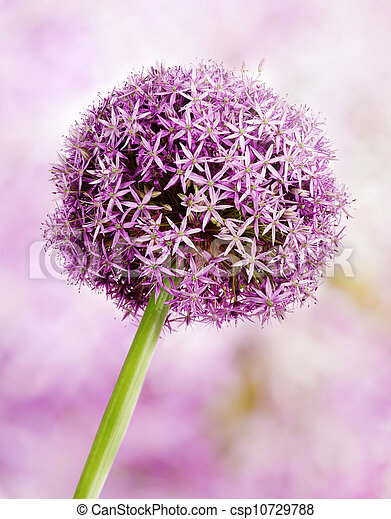Allium, Purple garlic flowers - csp10729788