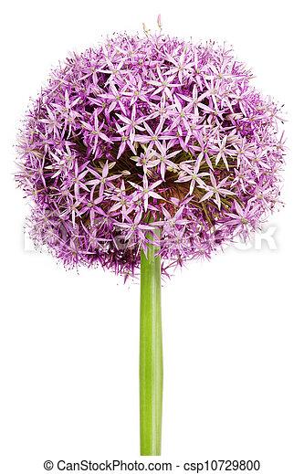 Allium, Purple garlic flowers - csp10729800