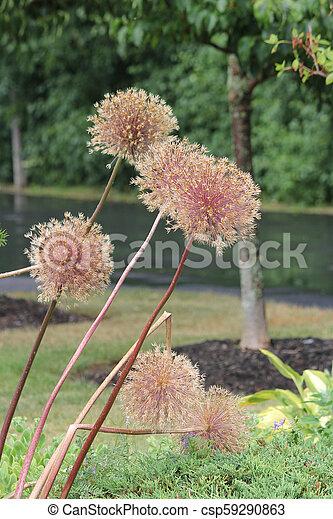 Allium Seed Head - csp59290863