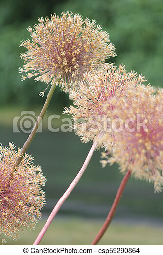 Allium Seed Head - csp59290864