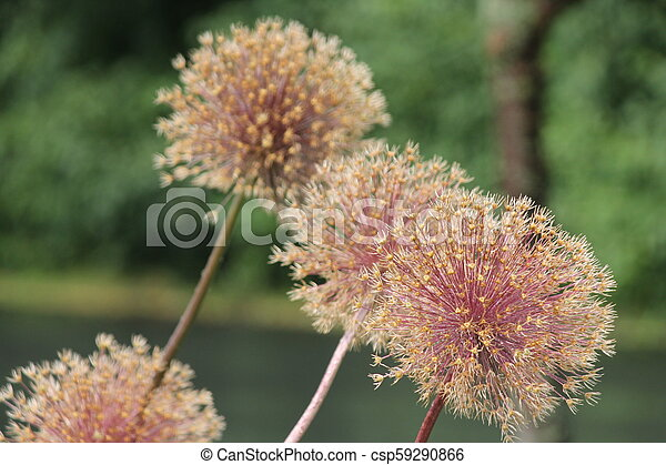 Allium Seed Head - csp59290866