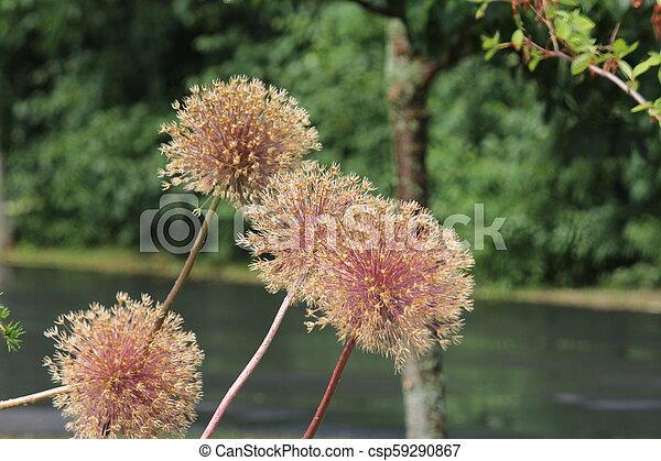 Allium Seed Head - csp59290867
